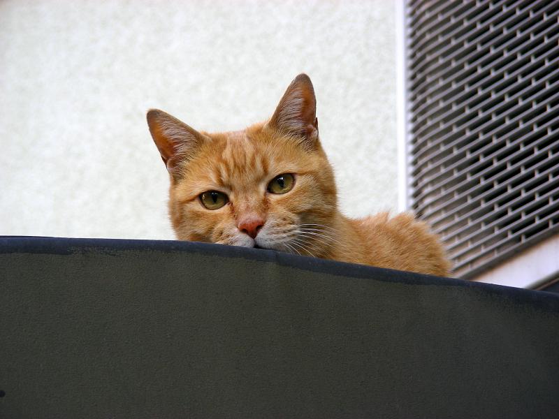帆布屋根の茶トラ猫2