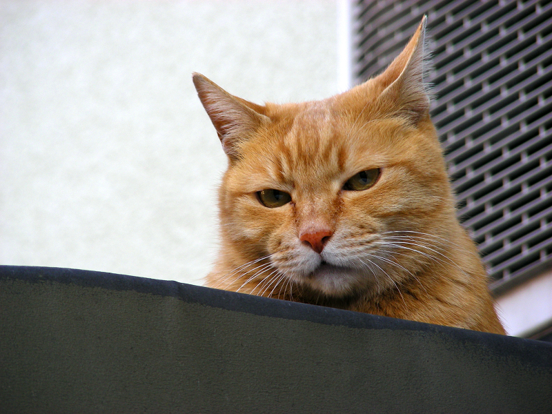 帆布屋根の茶トラ猫3