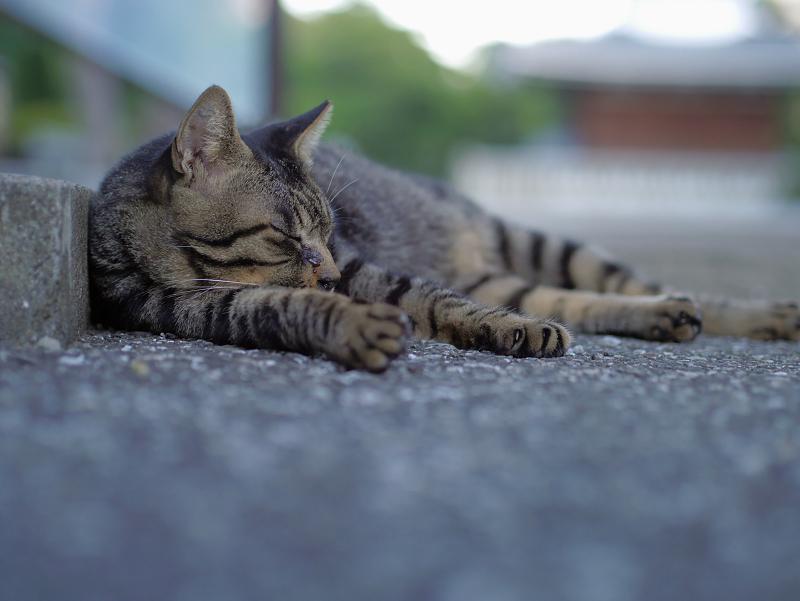 階段下縁石のキジトラ猫1