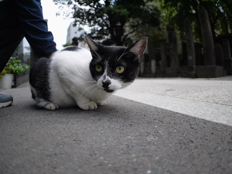 ローアングルで無表情な白黒猫2