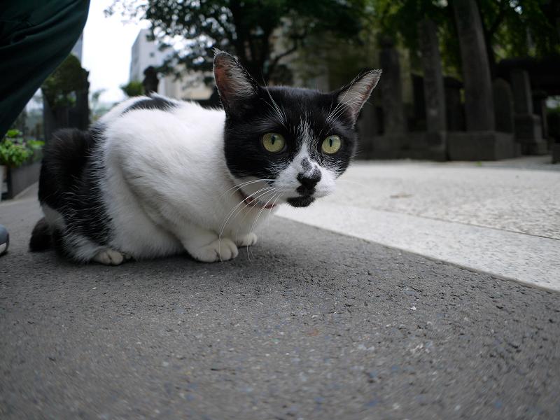 ローアングルで無表情な白黒猫3