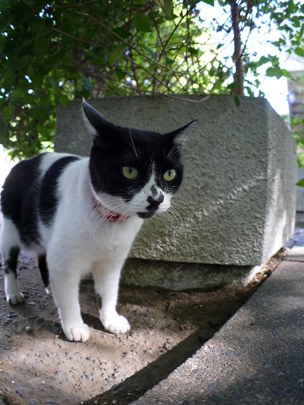 日陰の白黒猫1