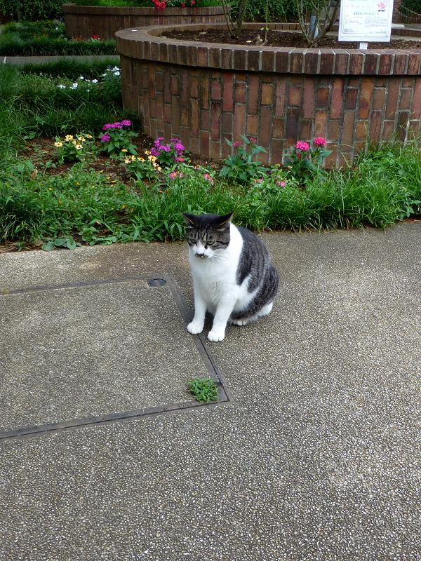花壇の前で欠伸するキジ白猫1