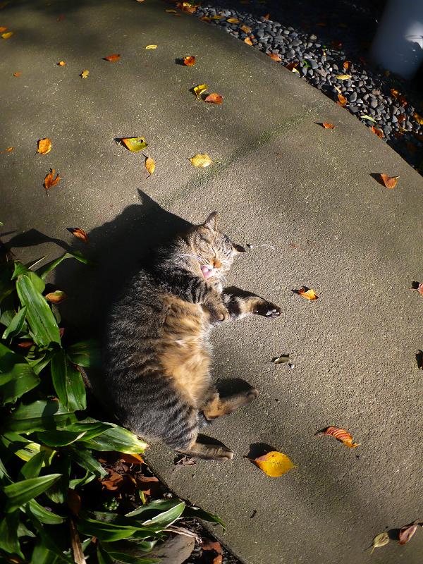 日の当たる参道のキジトラ猫1