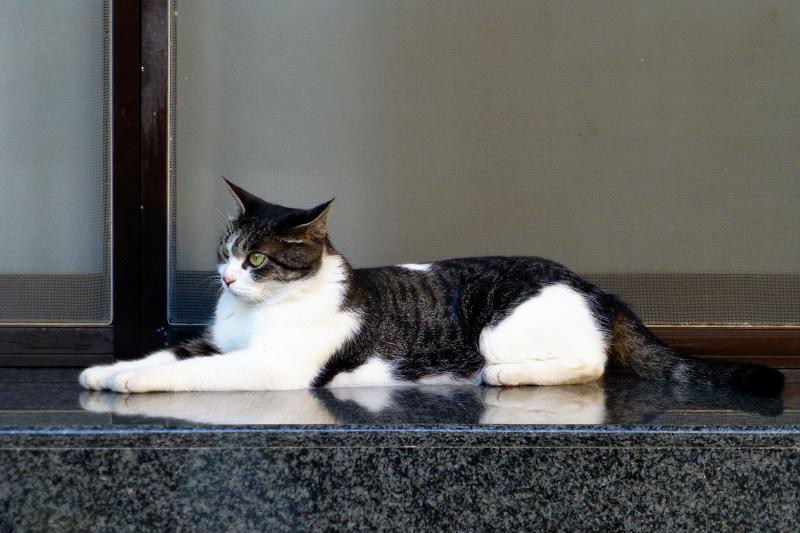 獅子ポーズのキジ白猫1