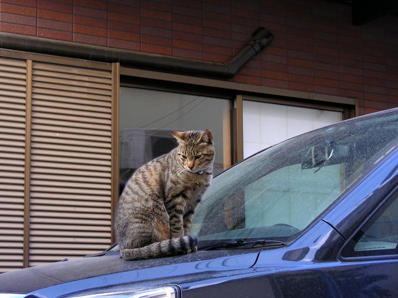 ボンネットに登ったキジトラ猫2
