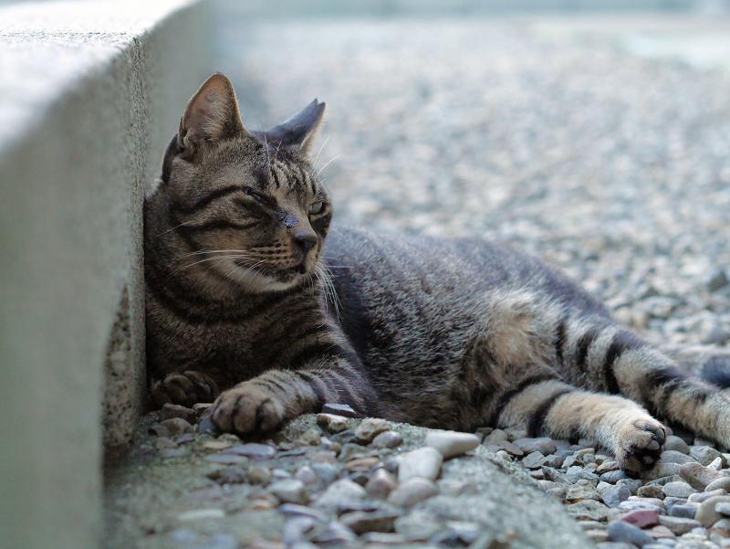 縁石の内側のキジトラ猫1