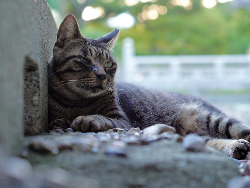 縁石の内側のキジトラ猫2