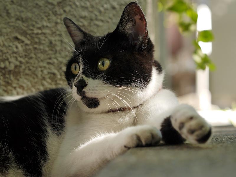 日陰で休憩中の白黒猫1
