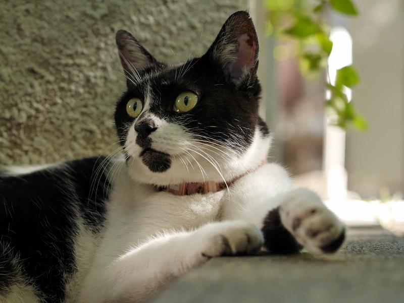 日陰で休憩中の白黒猫2