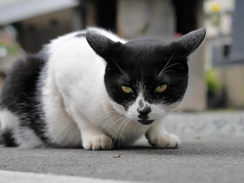 ローアングルから耳を水平にしてる白黒猫2