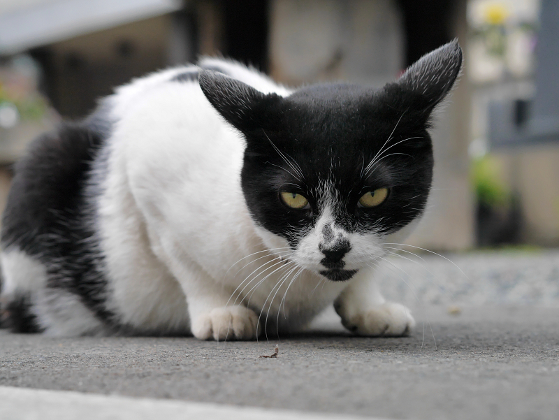 ローアングルから耳を水平にしてる白黒猫3