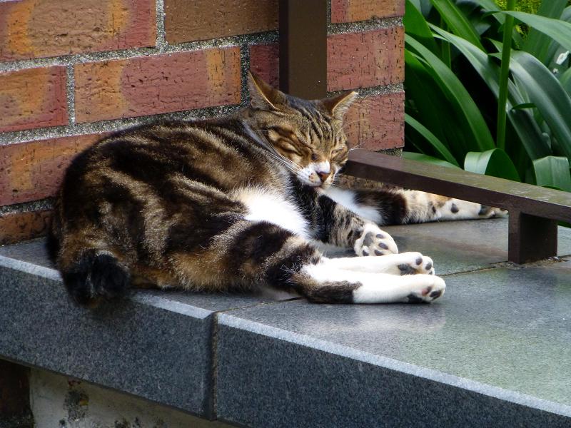 公園で昼寝中のアメショー猫
