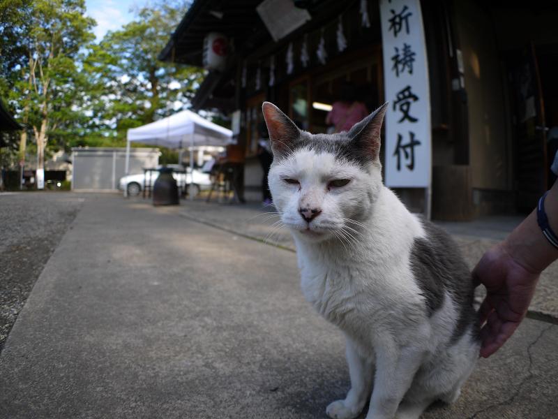 神社境内の白グレー猫1