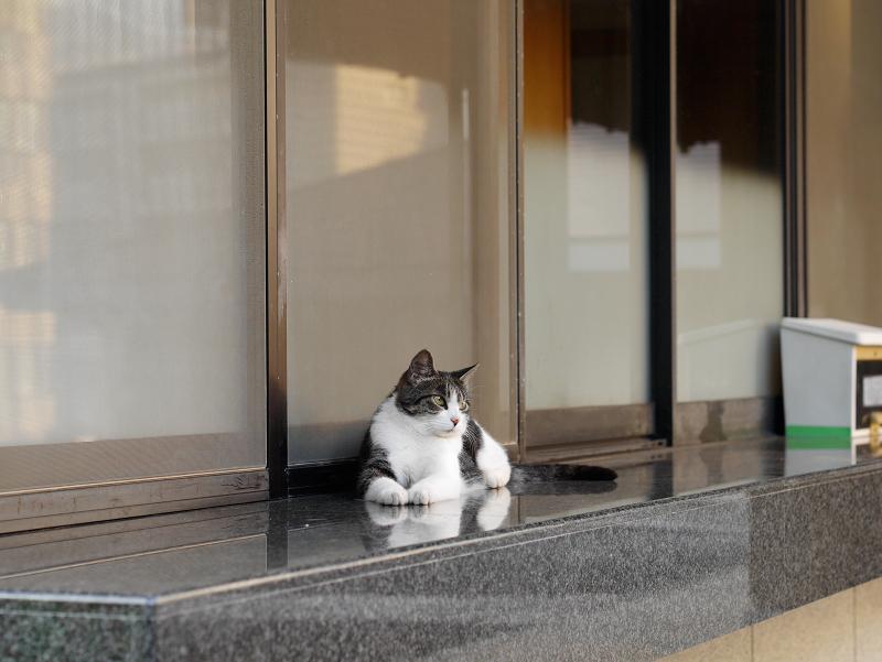 社務所受付前の映り込みキジ白猫1