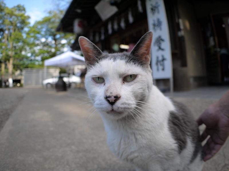 神社境内の白グレー猫2