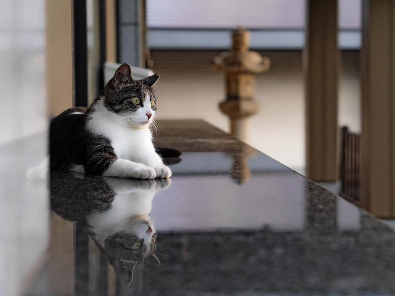 社務所受付前の映り込みキジ白猫2