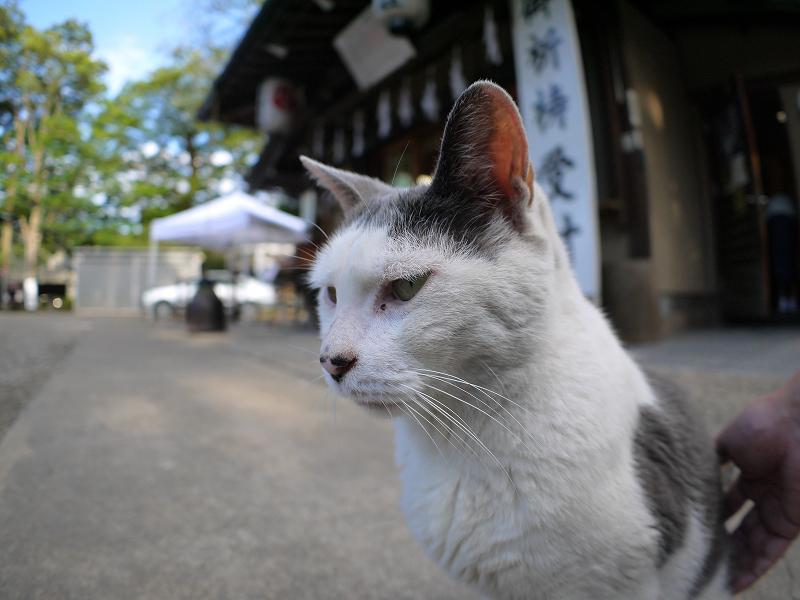 神社境内の白グレー猫3