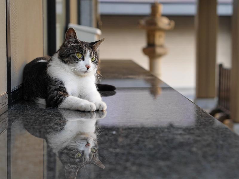 社務所受付前の映り込みキジ白猫3