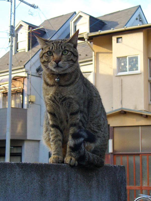 ブロック塀に乗ったキジトラ猫1