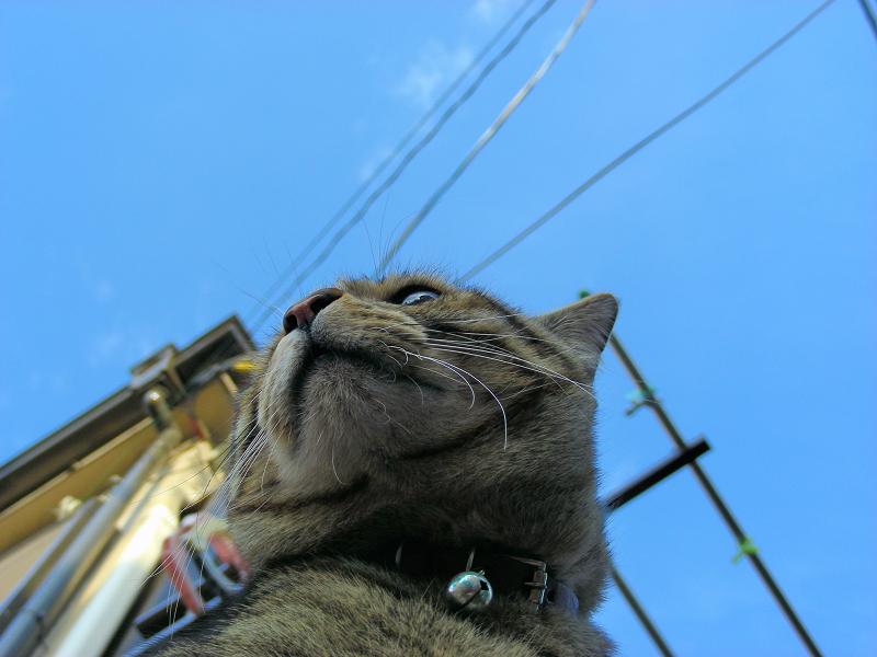 ブロック塀に乗ったキジトラ猫3