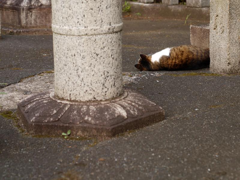 石灯籠とキジ白猫1