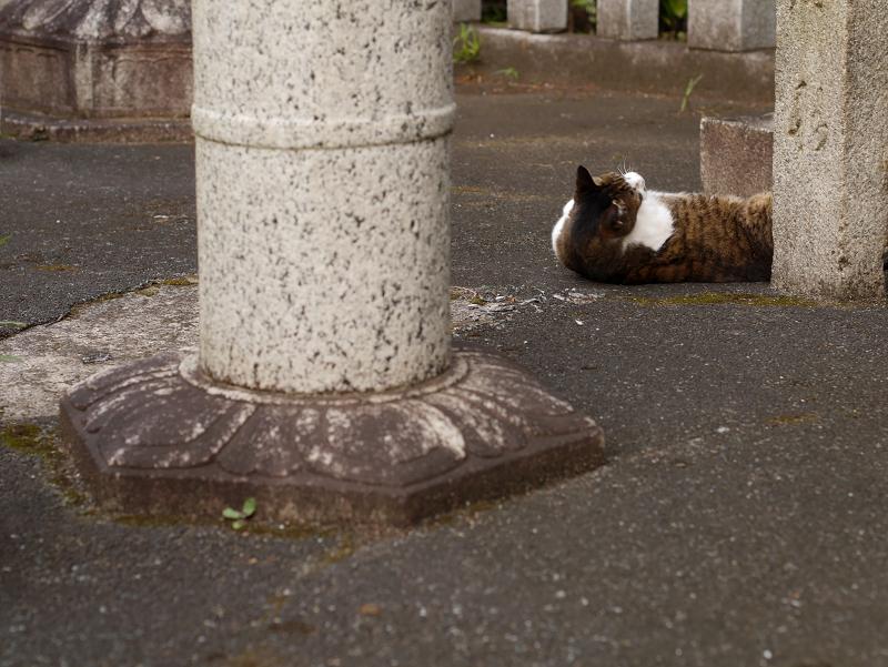 石灯籠とキジ白猫2