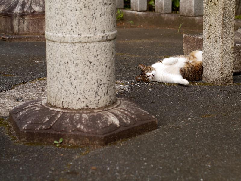 石灯籠とキジ白猫3
