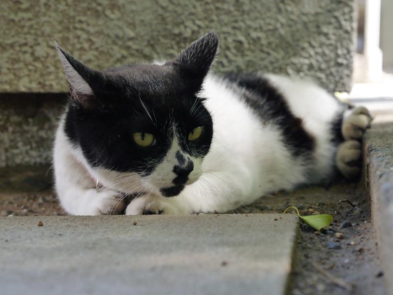 耳が特徴的な白黒猫1