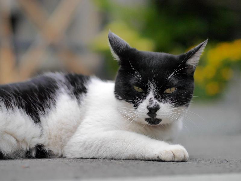 不愉快顔の白黒猫1