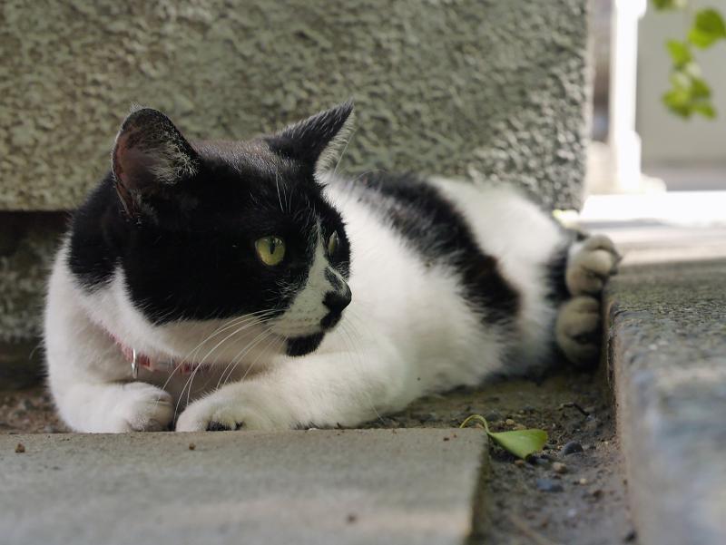 耳が特徴的な白黒猫2