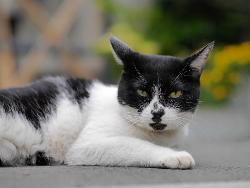 不愉快顔の白黒猫2