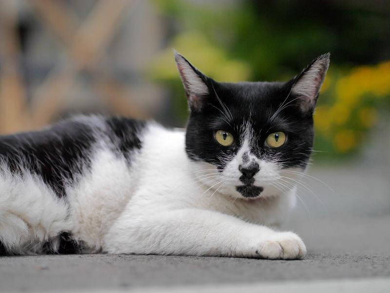 不愉快顔の白黒猫3