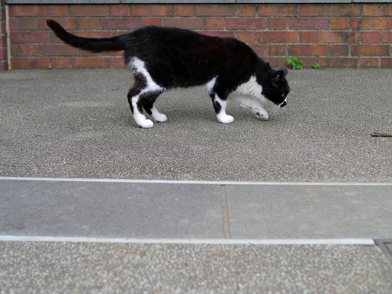 臭いを嗅ぐ黒白猫1