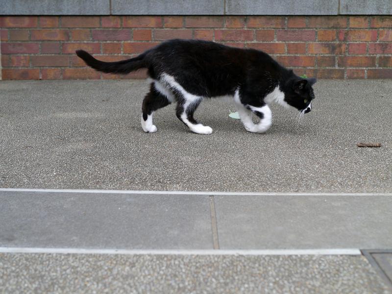 臭いを嗅ぐ黒白猫2