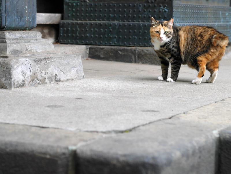 立ち止まったキジトラ猫