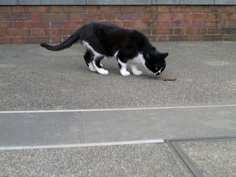 臭いを嗅ぐ黒白猫3