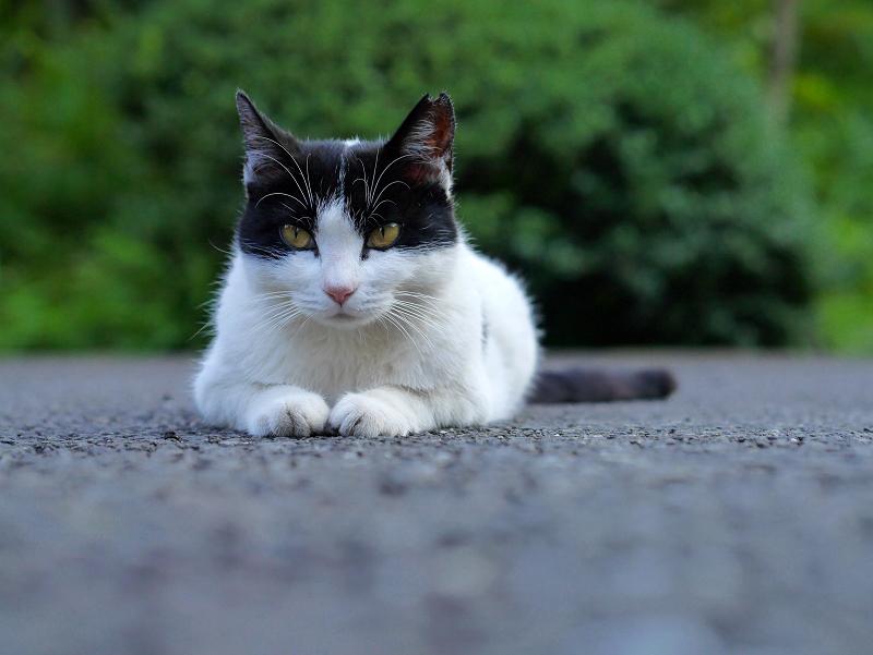 ローアングル黒白猫1