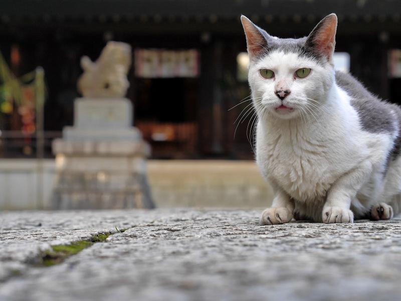 拝殿とグレー白猫1