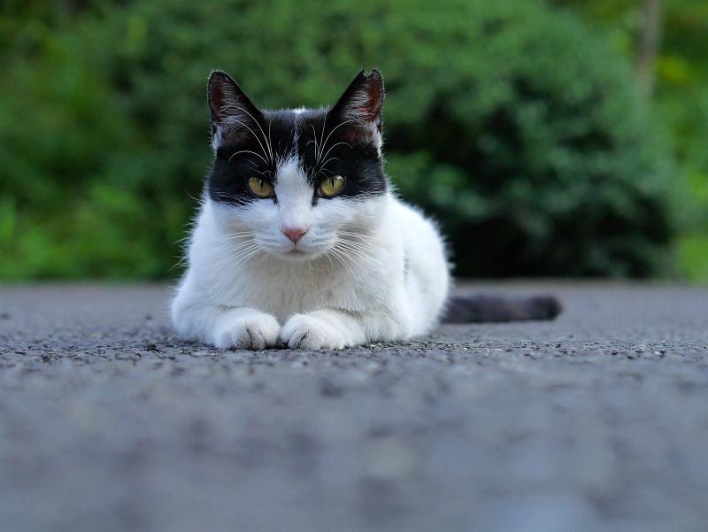 ローアングル黒白猫2