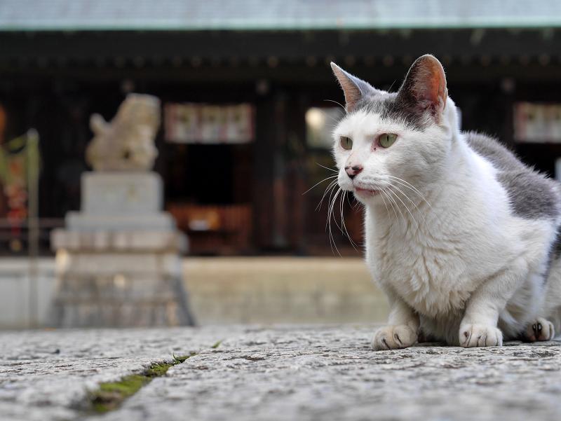 拝殿とグレー白猫2