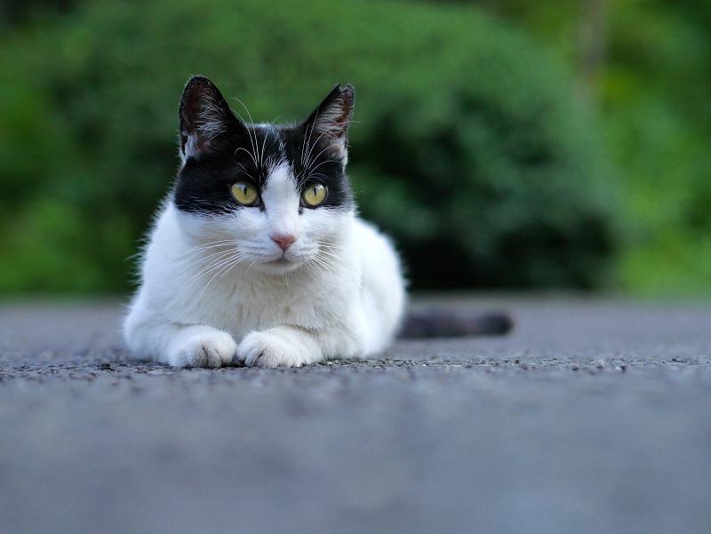 ローアングル黒白猫3