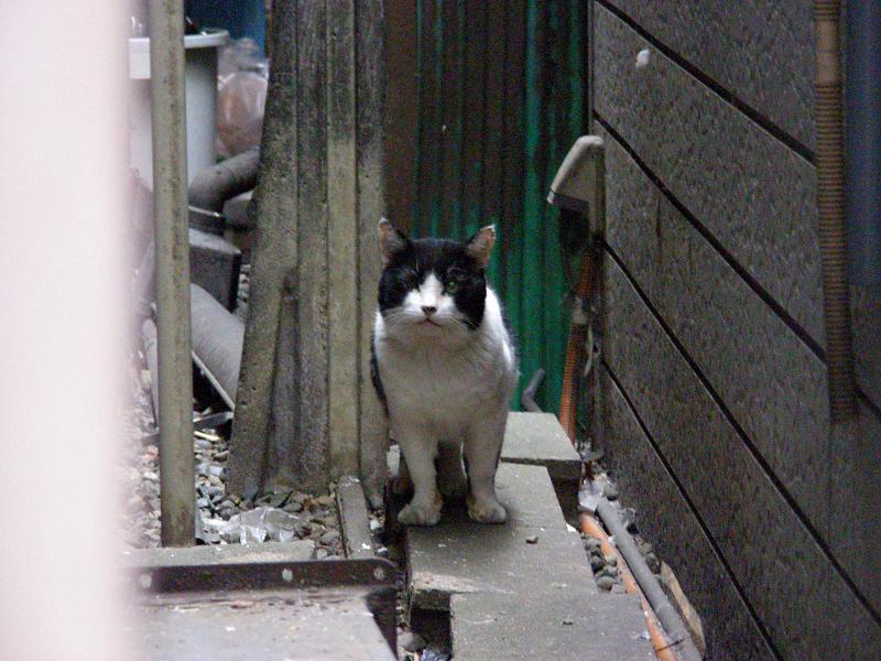 ビルの間の黒白猫1