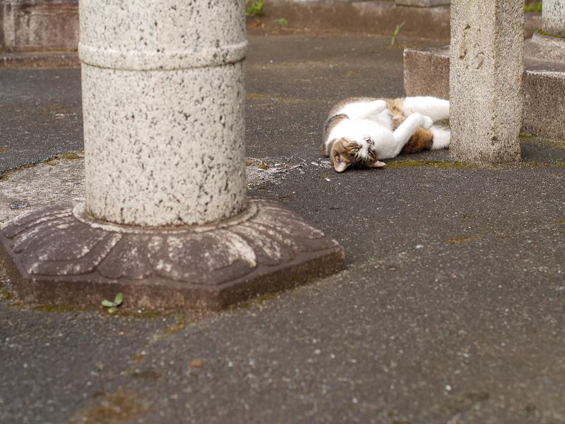 石灯籠柱とキジ白猫3