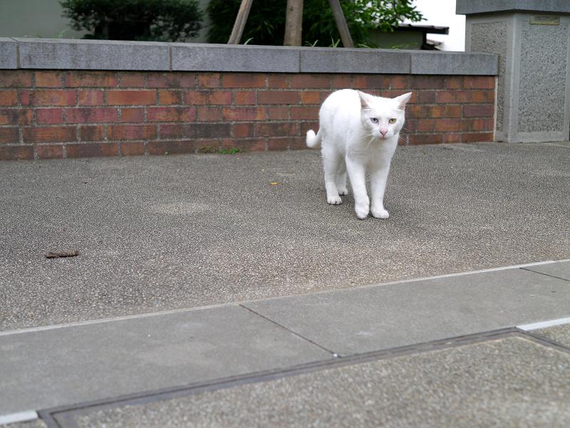 公園のオッドアイ白猫1