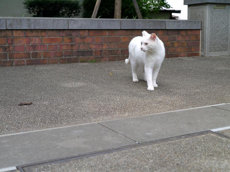 公園のオッドアイ白猫2
