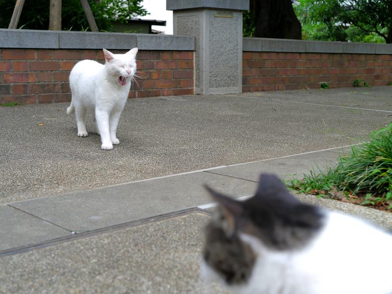 公園のオッドアイ白猫3