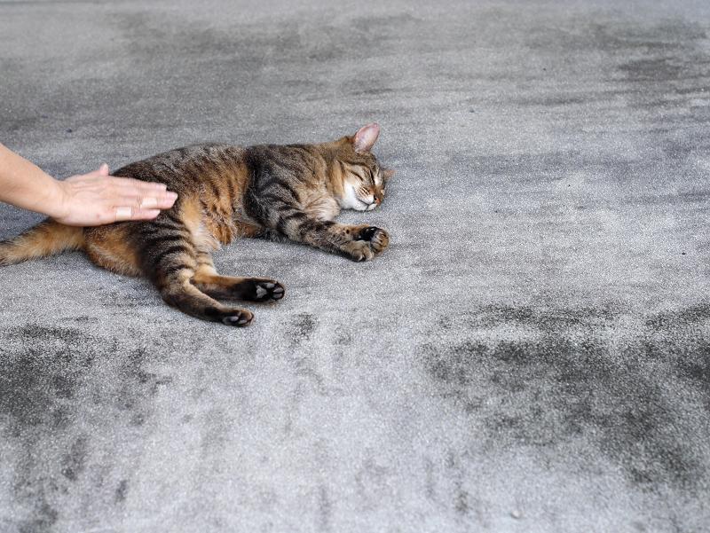 腰をトントンされているキジトラ猫1