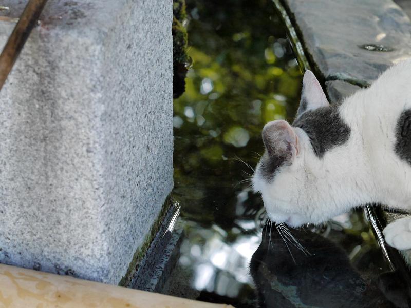 水を飲んでるグレー白猫1