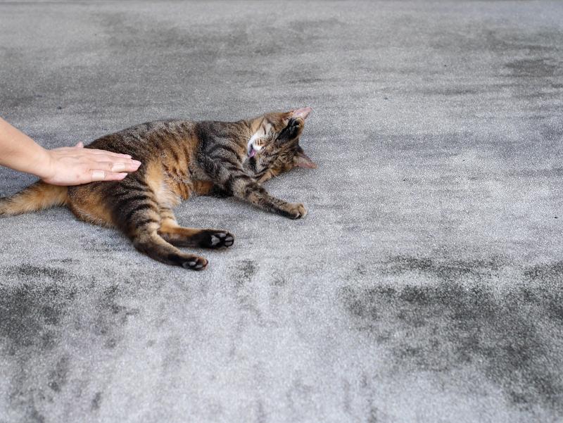 腰をトントンされているキジトラ猫2